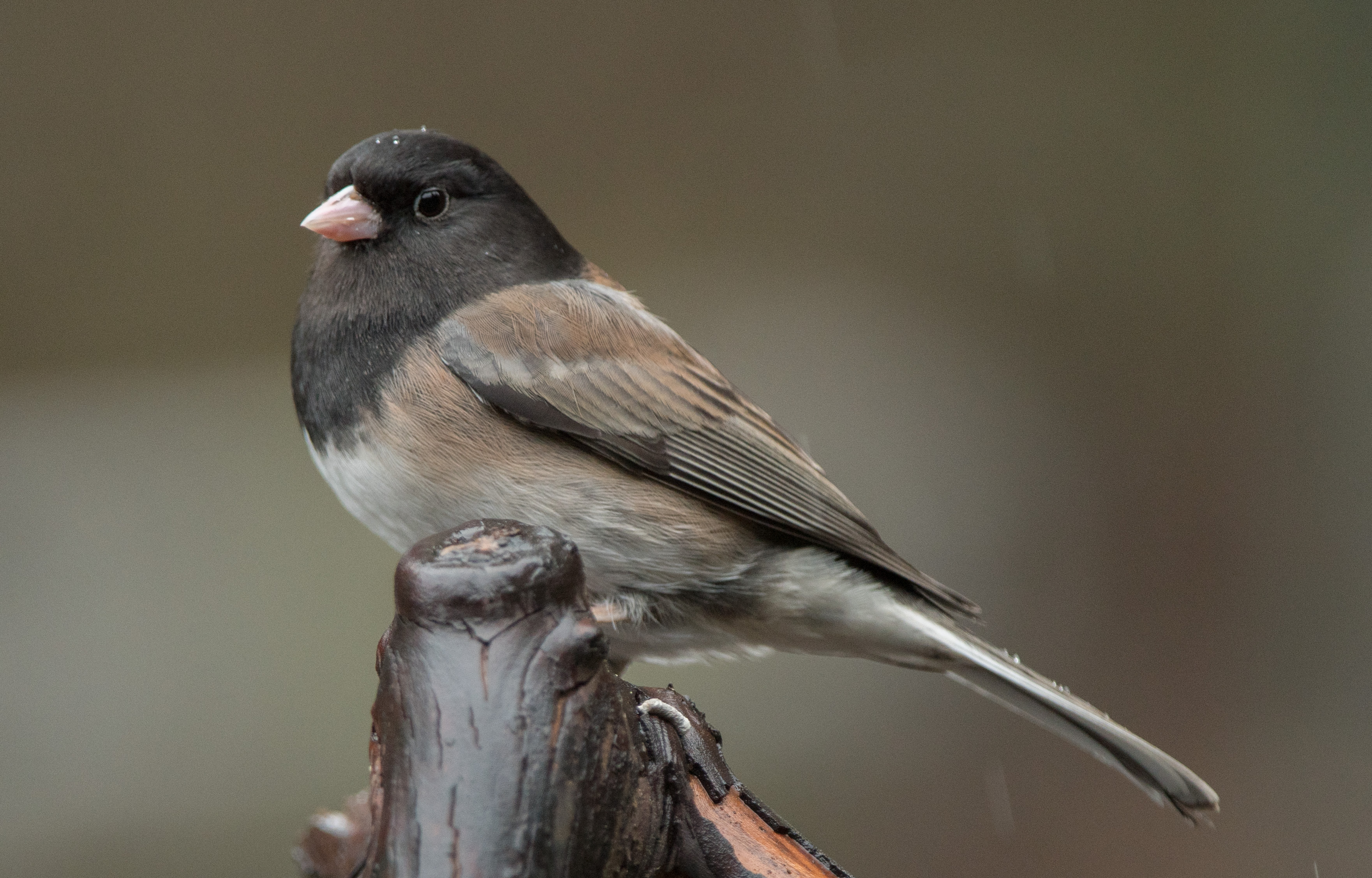posts wings over skagit photos and observations of birds of
